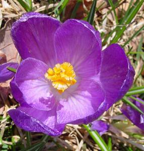 garden 04-03-2490 crocuses