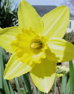 garden 04-03-2567 daffodils
