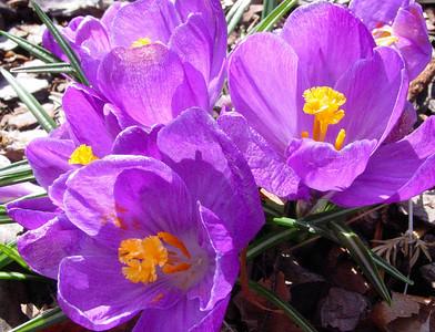 garden 04-03-2492 crocuses