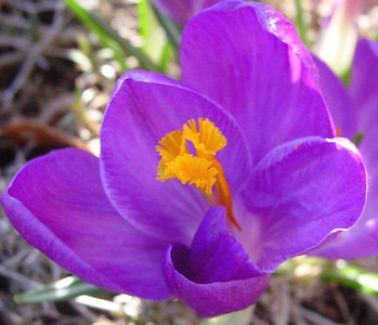 garden 04-03-2508 crocuses
