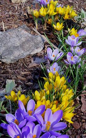 garden 04-03-2507 crocuses