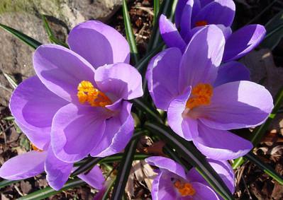 garden 04-03-2518 crocuses