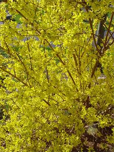 garden 04-03-2557 forsythia