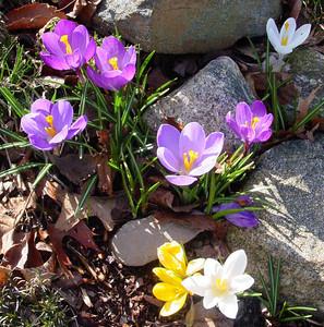 garden 04-03-2496 crocuses