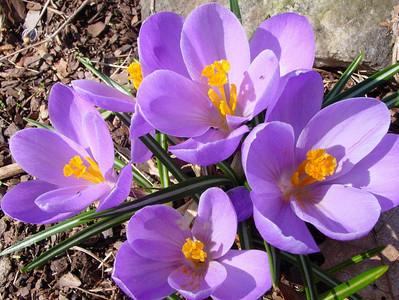 garden 04-03-2503a crocuses