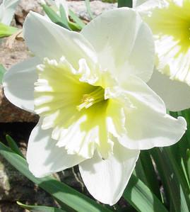garden 04-03-2564a daffodils