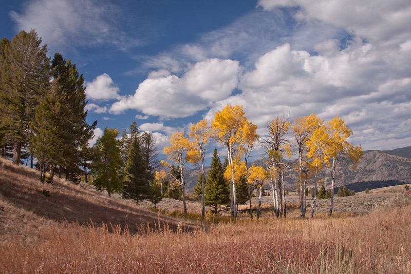 A copse of aspens stands out against a clear Yellowstone sky along the Blacktail Plateau Drive.