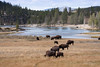 Bison along Yellowstone River.