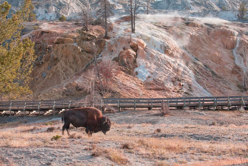 Bison, grazing in front of the lower terrace in  Mammoth Hot Springs.