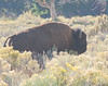 Bison in Downtown Mammoth Hot Springs. YNP
