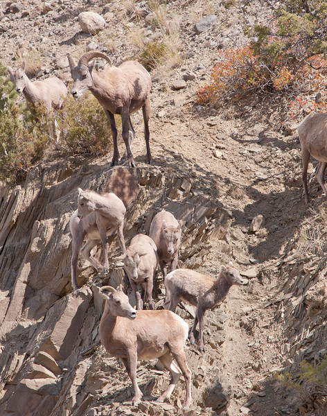 Big Horn Ram with ewes and young