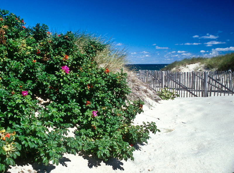 Cape Beach Roses<br /> Campe Cod, <br /> Mass