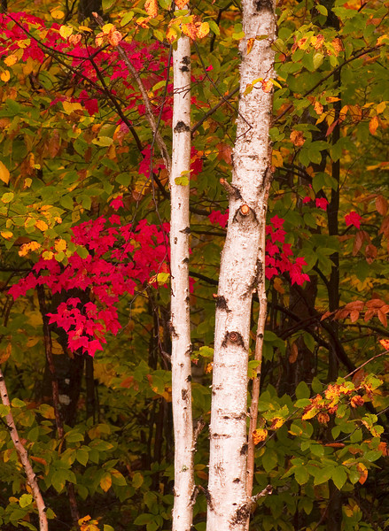 FC004<br /> Red Maple and White Birch<br /> White Mountains, New Hampshire