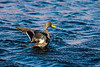 Yellowbilled duck with wings out and poised for flight