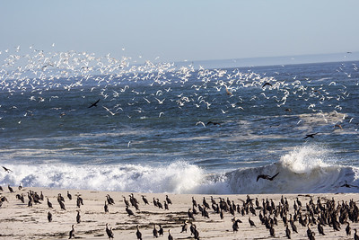 flock of seagulls and cormorants
