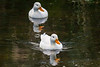 Two white ducks swimming in River, Observatory Cape Town