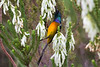 Orangebreasted Sunbird drinking nectar from fynbos flowers
