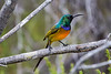 Orangebreasted Sunbird perched on small twig like branch, great detail