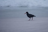 Lone African Black Oystercatcher on beach