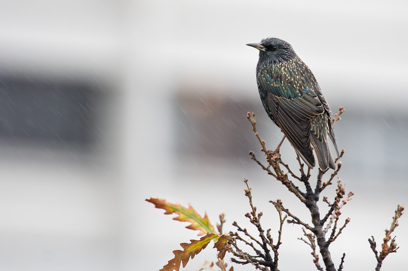 European Starling in the Rain