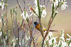 Orangebreasted Sunbird with fast movement of tail perched on fynbos flowers