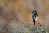 Fiscal Shrike, Lanius collaris, beautiful detail, perched. Western Cape South Africa