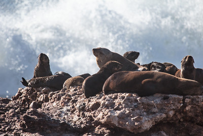 Cape Fur Seals chill by crashing waves