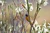 Orangebreasted Sunbird perched on fynbos flowers and watching