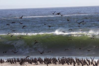 flock of Cormorants unperturbed amid crashing waves