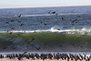 flock of Cormorants unperturbed amid crashing waves