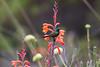 Orangebreasted Sunbird perched on succulent red flower in fynbos habitat