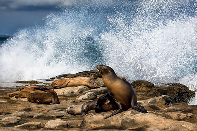 La Jolla Sea Lions at Rest