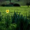 First Daffodil. Bowie's Star.