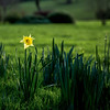 First Daffodil. Bowie's Star.