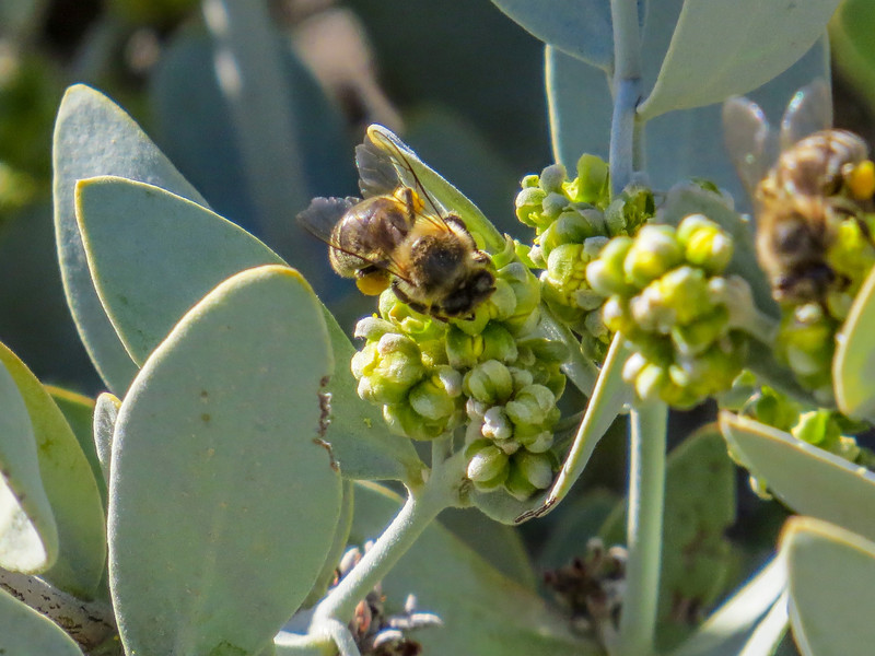 Bees, Anza Borrego SP, CA