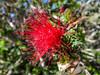 Feather Duster, Visitor Center, Anza Borrego Desert SP, CA