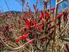 Hummingbird Bush, Borrego Palm Canyon, Anza Borrego Desert SP, CA
