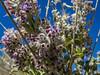 Desert Lavender, Borrego Palms Canyon, Anza Borrego Desert SP, CA