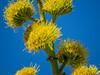 Century Plant (Agave), Visitors Center, Anza Borrego Desert SP, CA