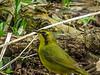 Kentucky Warbler, Magee Marsh, OH