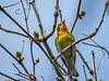 Blackburnian Warbler, Magee Marsh OH