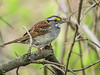 White-troated Sparrow, Magee Marsh OH