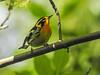 Blackburnian Warbler, Magee Marsh, OH