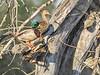 Mallard Duck, Magee Marsh, OH
