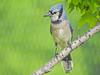 Blue Jay, Pearson Park, Oregon OH