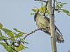Black-billed Cuckoo, Magee Marsh, OH