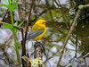 Prothonotary Warbler, Magee Marsh, OH