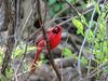 N. Cardinal, Magee Marsh, OH