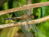 Female Blue Dasher, Magee Marsh, OH