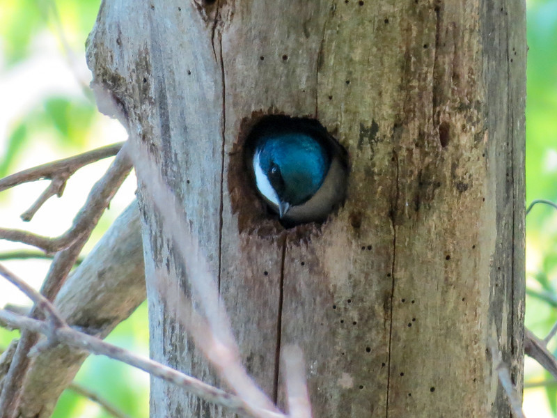 Tree Swallow, Magee Marsh, OH